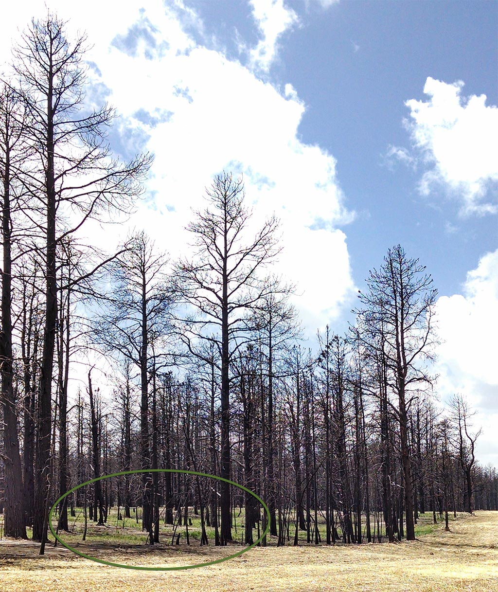 blackened trees along hodgen rd