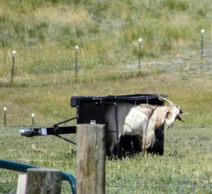 Desmo the goat